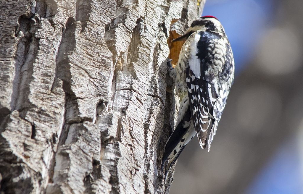 Yellow-bellied Sapsucker Pentax K-5 + Sigma 150-500@500mm 1/1600sec., ƒ/6.3, ISO 1250