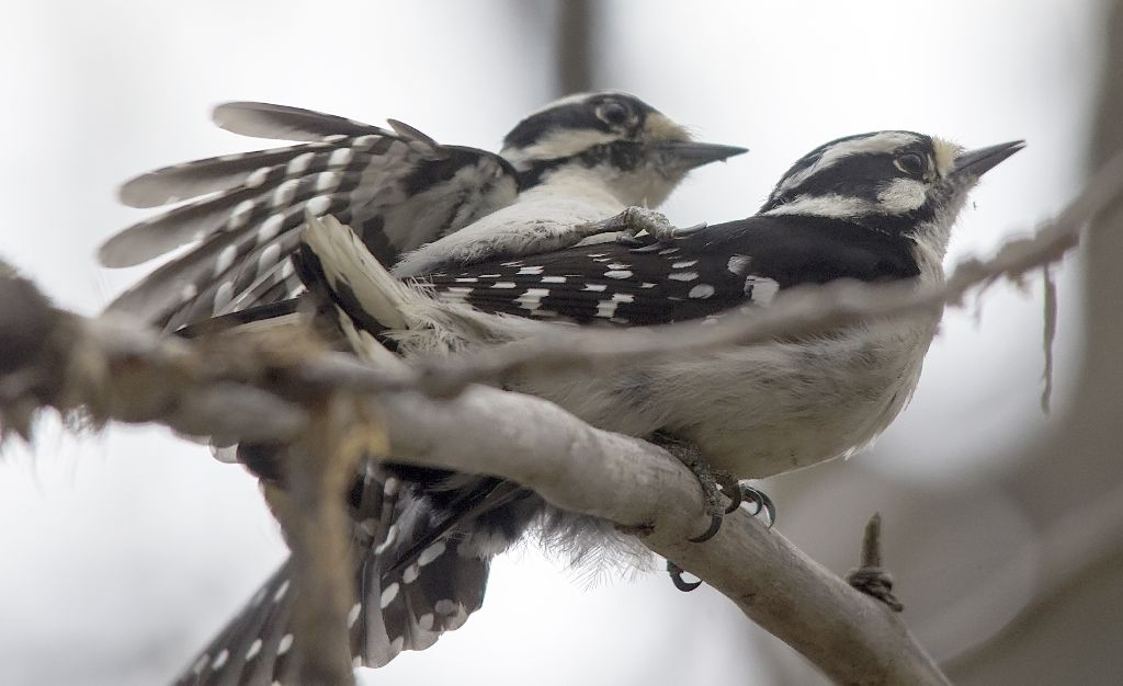 Downy Woodpeckers Pentax K-5 + Sigma 150-500@500mm 1/1250sec., ƒ/6.3, ISO 800