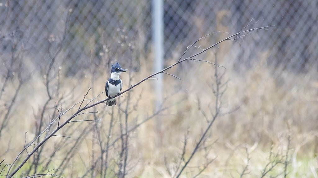 male Belted Kingfisher Pentax K-5 + Sigma 150-500@500mm 1/1250sec., ƒ/6.3, ISO 2500