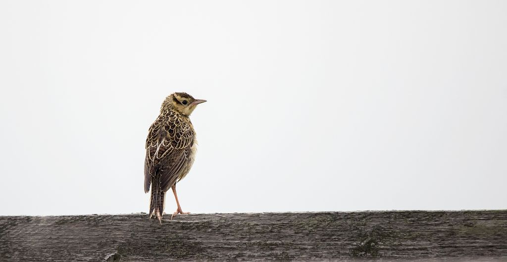 baby Western Meadowlark Frank Lake June 27, 2014