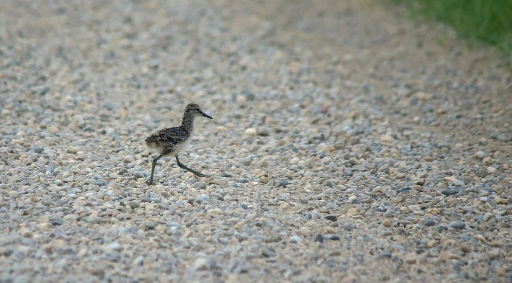 Willet Chick Frank Lake June 27, 2014