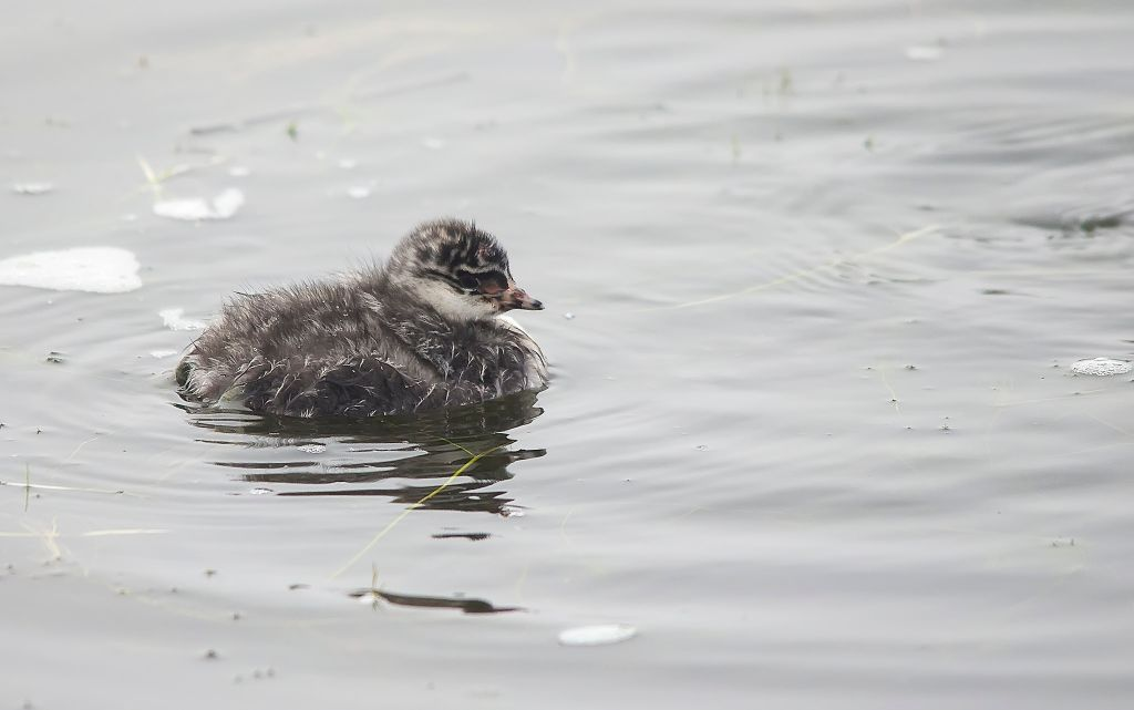 Eared Grebe chick Frank Lake June 27, 2014