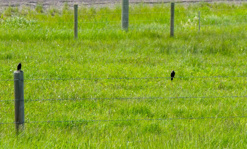 Pair of Bobolinks Plummer's Road, south of Calgary July 2, 2014