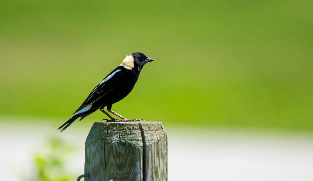 Bobolink Plummer's Road, south of Calgary July 2, 2014