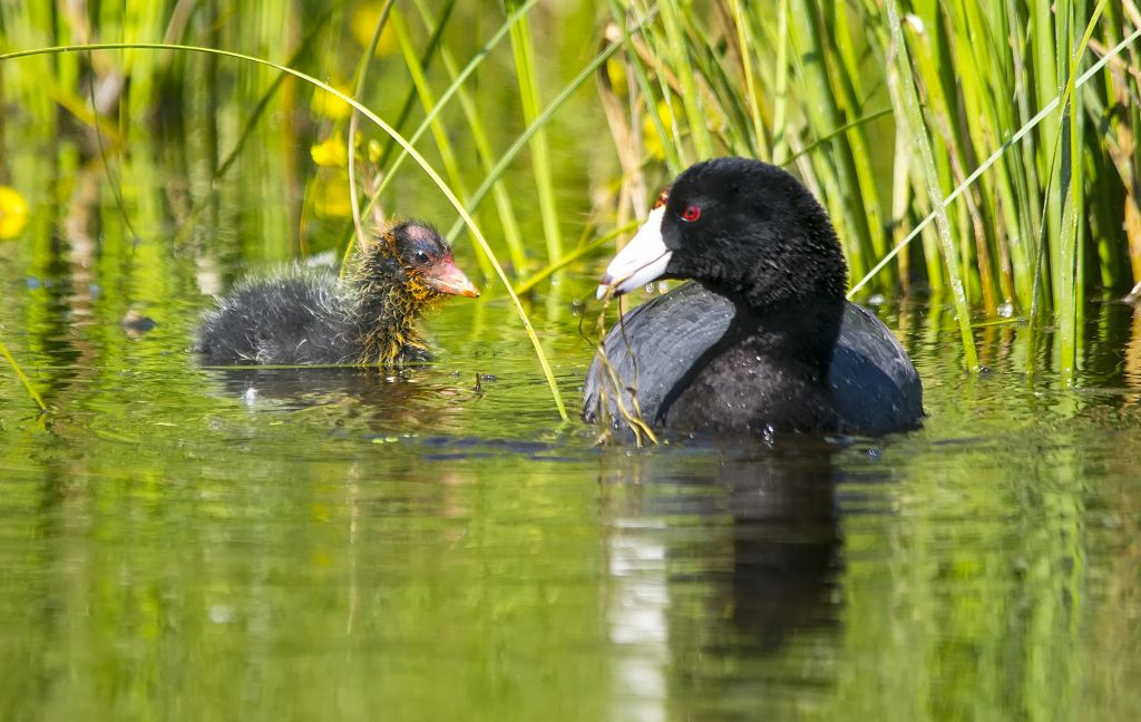 American Coot and chick Plummer's Road, south of Calgary July 2, 2014