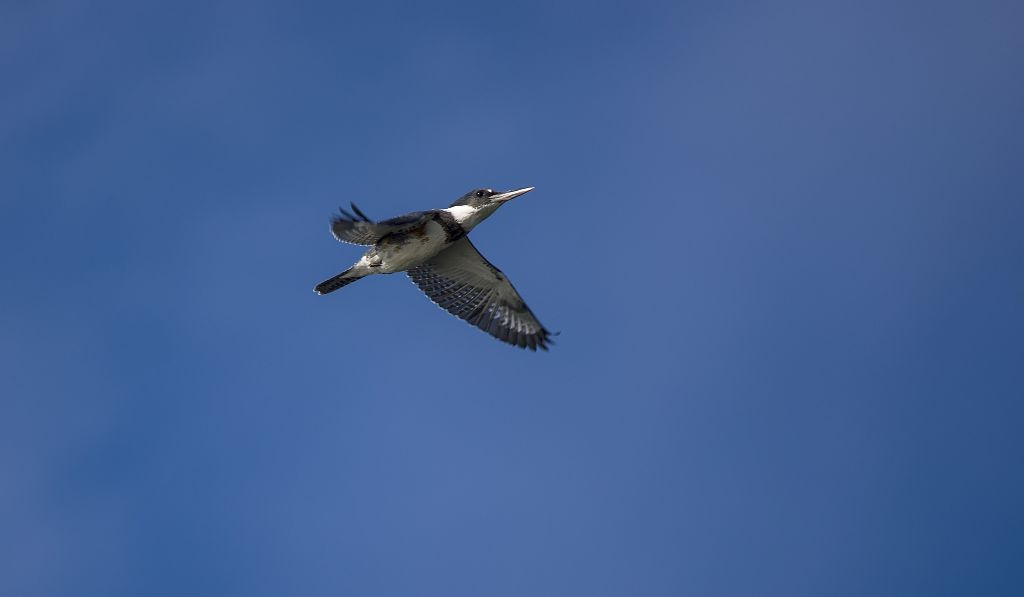 Belted Kingfisher Pentax K-5 + Sigma 150-500@500mm 1/1000sec., ƒ/6.3, ISO 250