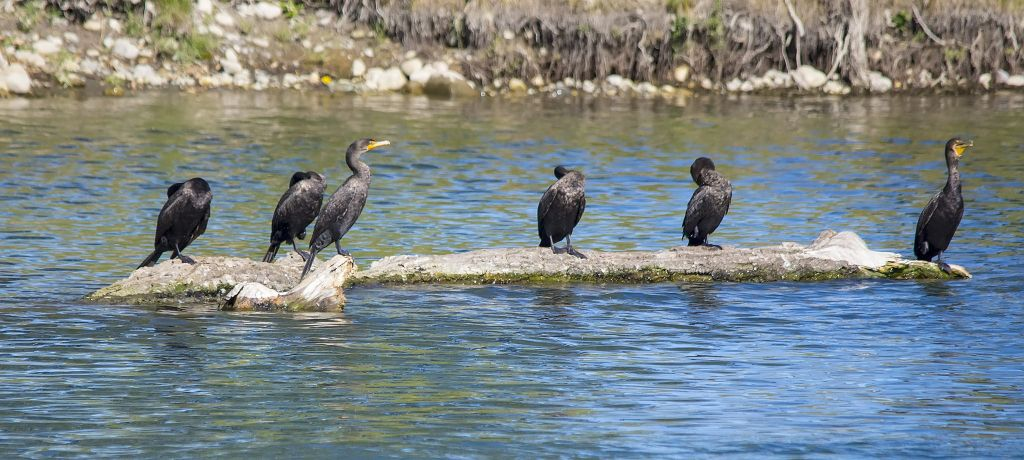 Double Crested Cormorants Pentax K-5 + Sigma 150-500@500mm 1/1250sec., ƒ/6.3, ISO 640