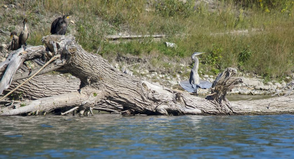 Great Blue Heron sunning itself Pentax K-5 + Sigma 150-500@500mm 1/1250sec., ƒ/6.3, ISO 400