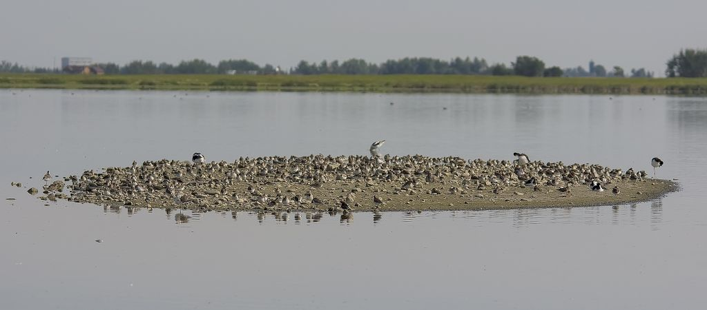 So many shorebirds! Weed Lake August 10, 2014