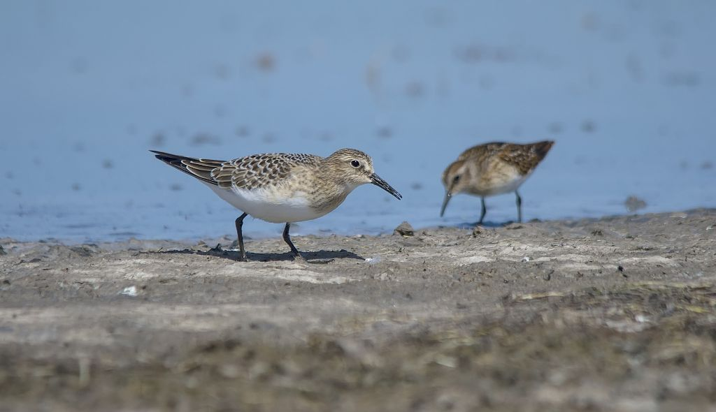 Baird's Sandpipers Weed Lake August 10, 2014