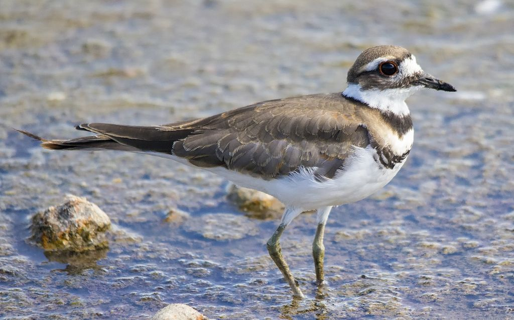 Killdeer Weed Lake July 29, 2014