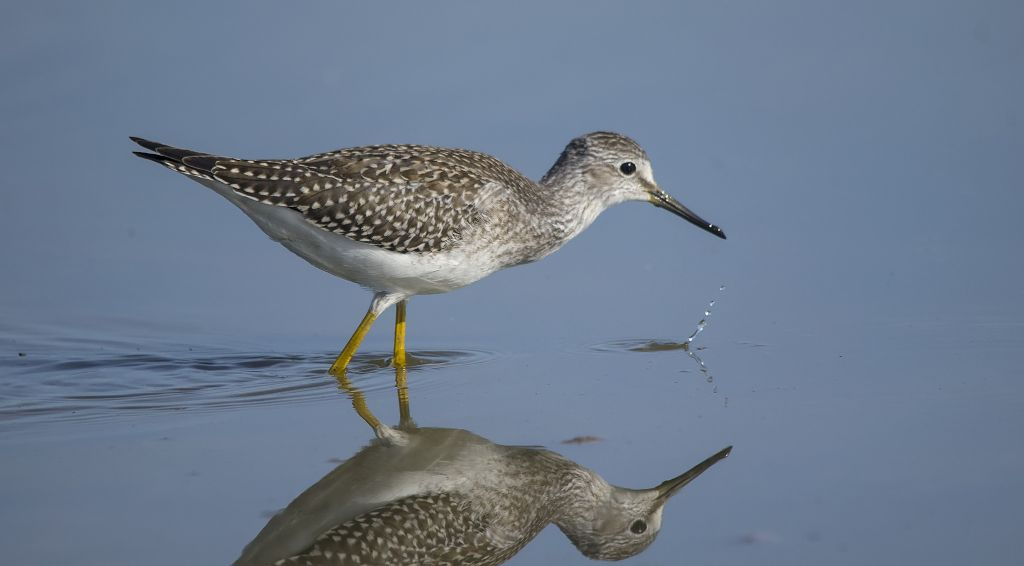 Lesser Yellowlegs Weed Lake August 10, 2014