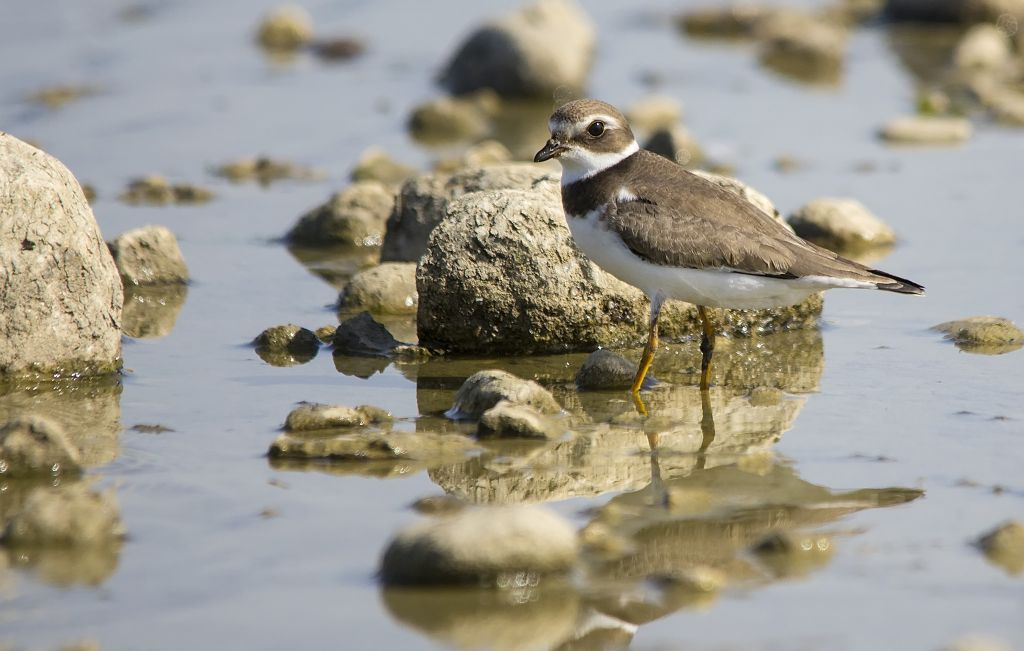 Semipalmated Plover Weed Lake August 10, 2014