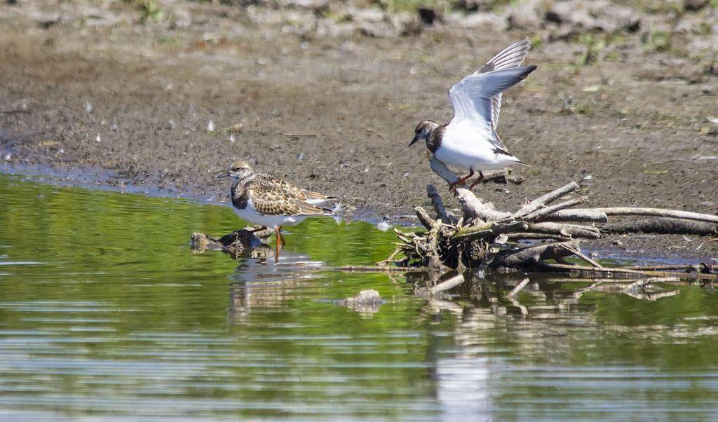 Ruddy Turnstones Weed Lake August 30, 2014