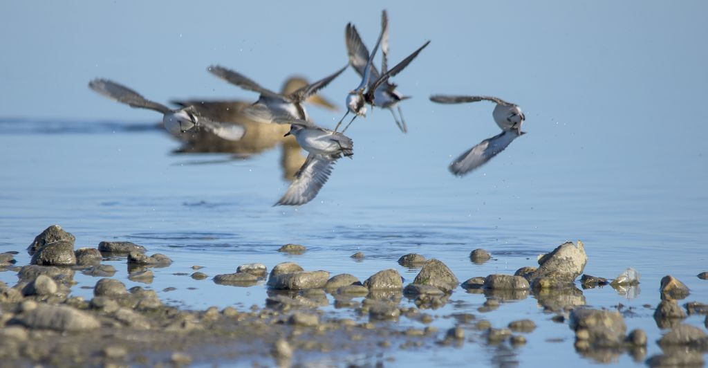 Semipalmated and Least Sandpipers taking off Weed Lake September 6, 2014