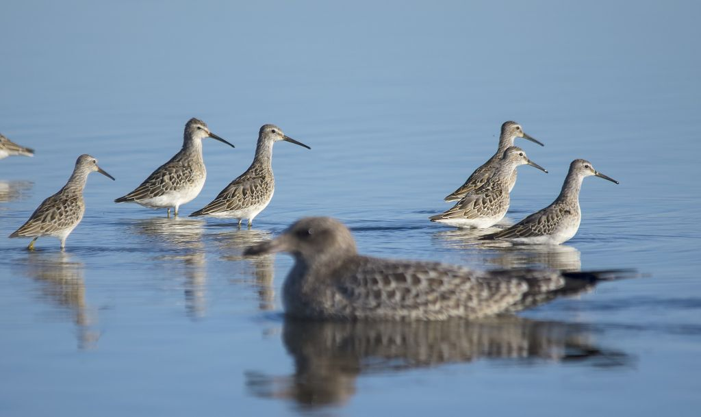 Stilt Sandpipers and California Gull Weed Lake September 6, 2014
