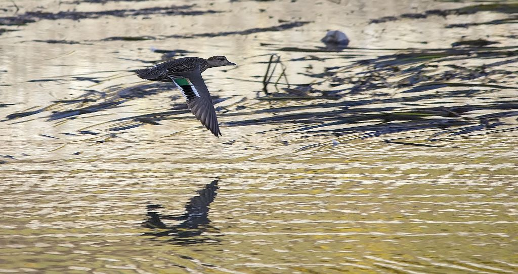 Green-winged Teal in flight Pentax K-5 + Sigma 150-500@500mm 1/1600sec., ƒ/6.3, ISO 1250