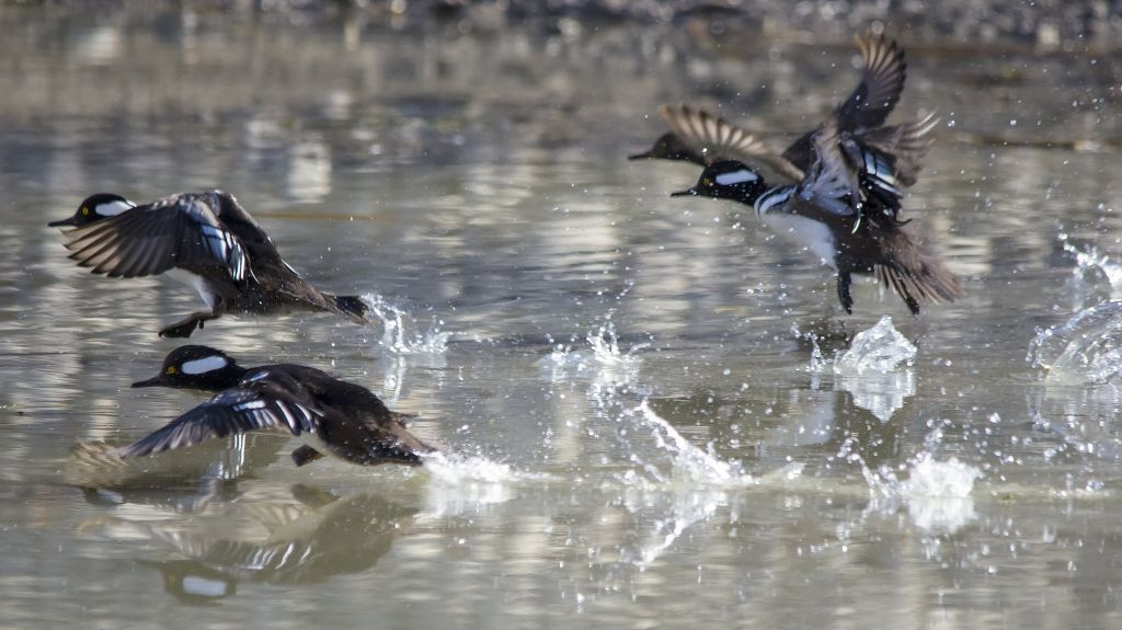Hooded Mergansers taking off Pentax K-5 + Sigma 150-500@500mm 1/2000sec., ƒ/6.3, ISO 2000