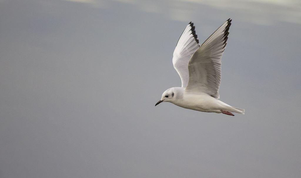 Bonaparte's Gull - non-breeding plumage Pentax K-5 + Sigma 150-500@500mm 1/800sec., ƒ/6.3, ISO 2000