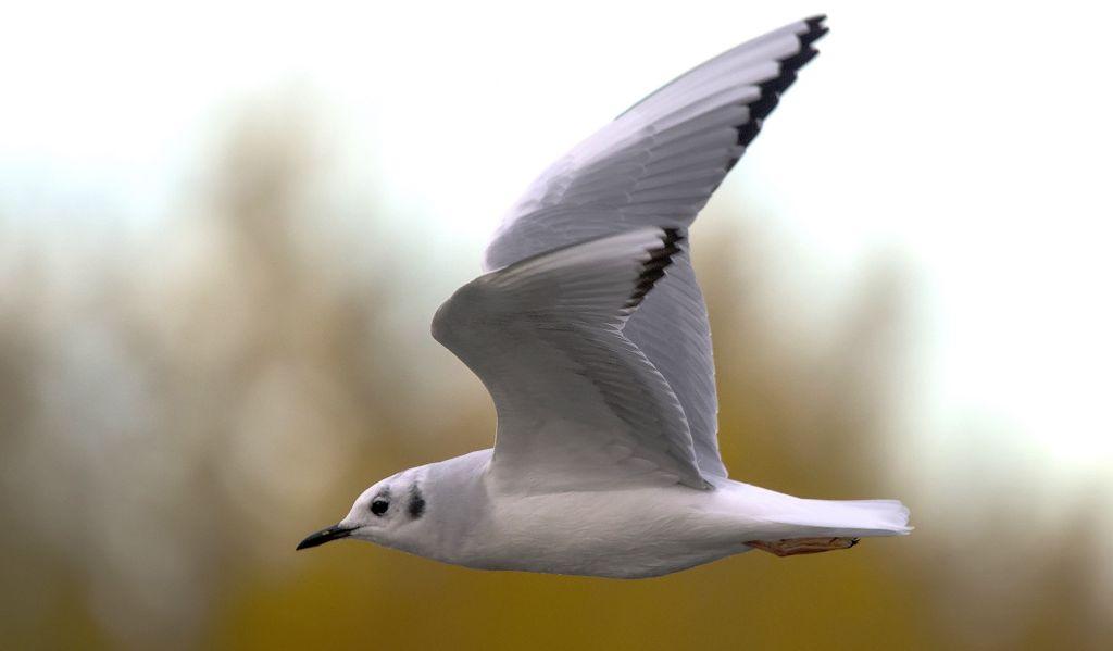Bonaparte's Gull - non-breeding plumage Pentax K-5 + Sigma 150-500@500mm 1/1000sec., ƒ/6.3, ISO 400