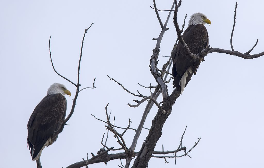 female (left) and male (right) Bald Eagles Pentax K-5 + Sigma 150-500@340mm 1/1250sec., ƒ/6.3, ISO 400