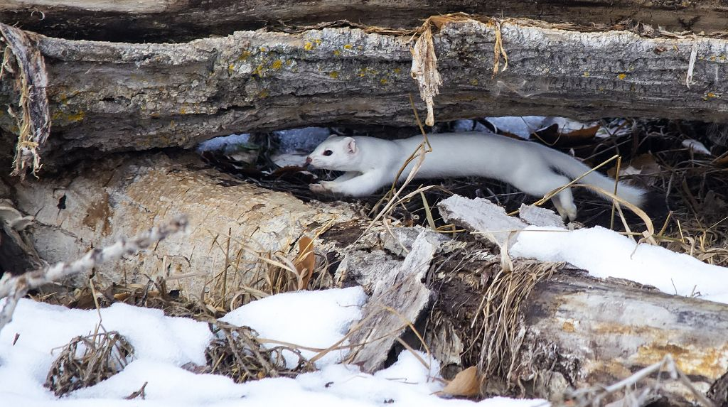 Long-tailed Weasel Pentax K-5 + Sigma 150-500@500mm 1/1250sec., ƒ/6.3, ISO 3200