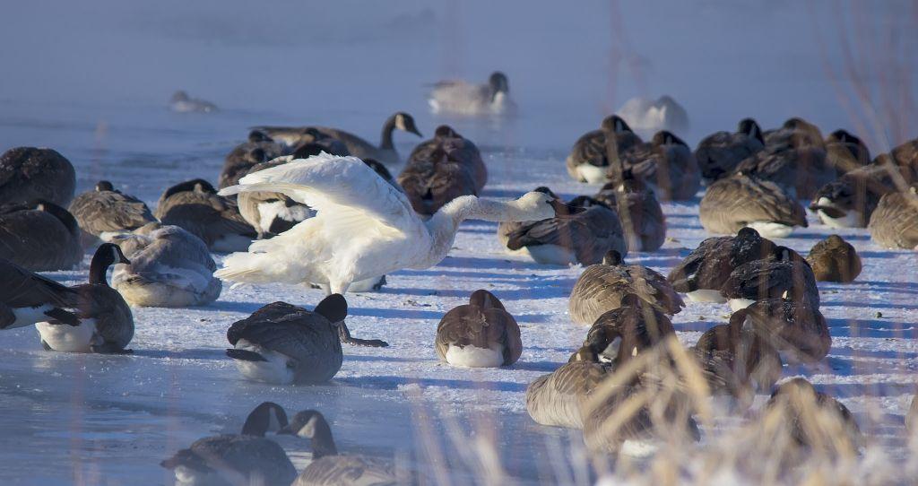 Tundra Swans Pentax K-5 + Sigma 150-500@500mm 1/1250sec., ƒ/6.3, ISO 400