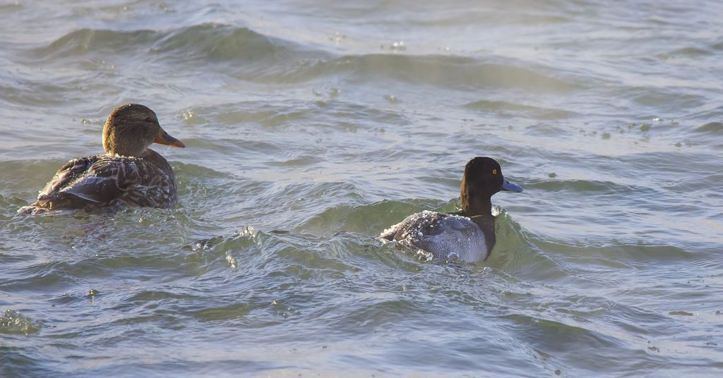 Ring-necked Duck (r) and female Mallard (l) Pentax K-5 + Sigma 150-500@500mm 1/800sec., ƒ/8, ISO 1600