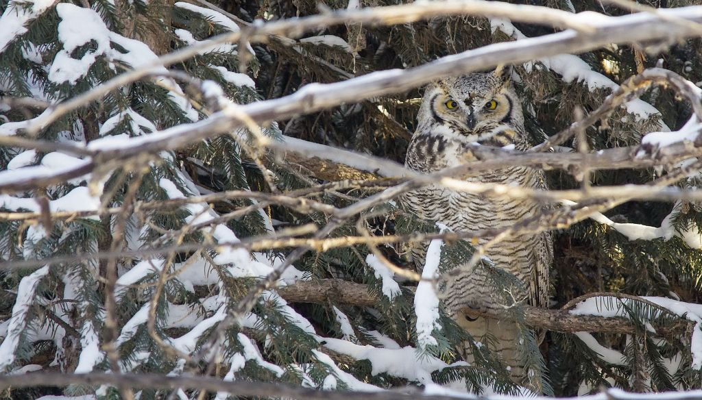 Great Horned Owl Pentax K-5 + Sigma 150-500@500mm 1/800sec., ƒ/6.3, ISO 3200