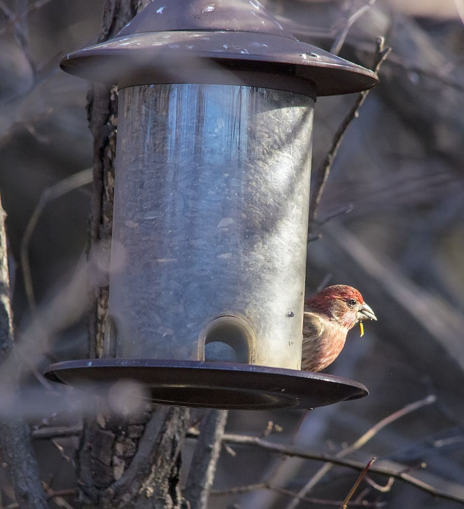 male House Finch Pentax K-5 + Sigma 150-500@500mm 1/1000sec., ƒ/6.3, ISO 1600