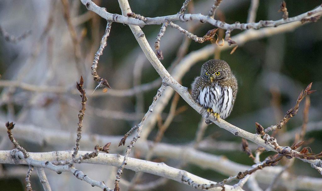 Northern Pygmy-Owl Pentax K-5 + Sigma 150-500@500mm 1/320sec., ƒ/6.3, ISO 2000