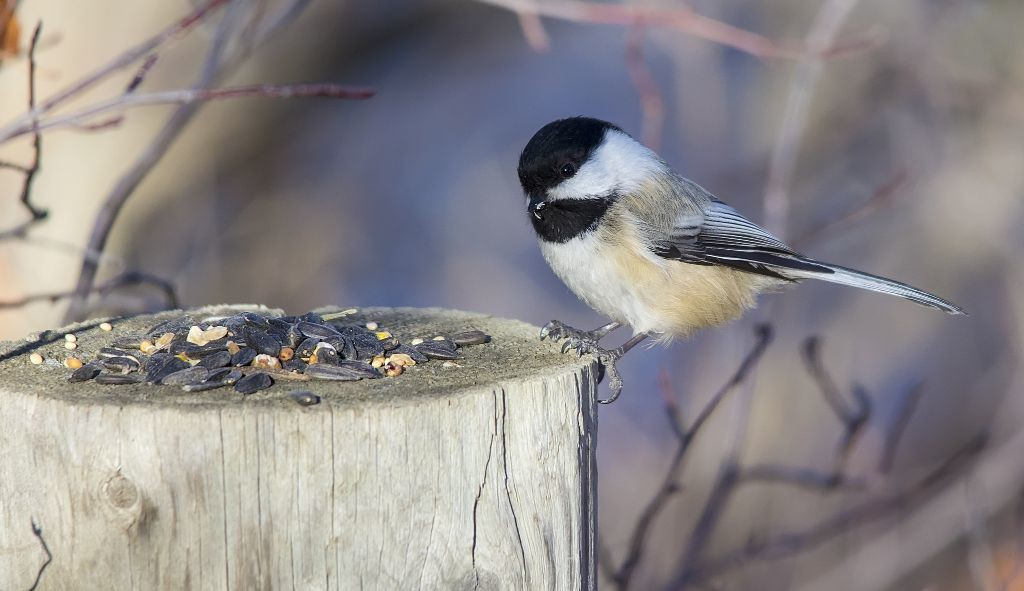 Black-capped Chickadee Pentax K-5 + Sigma 150-500@500mm 1/800sec., ƒ/6.3, ISO 1000