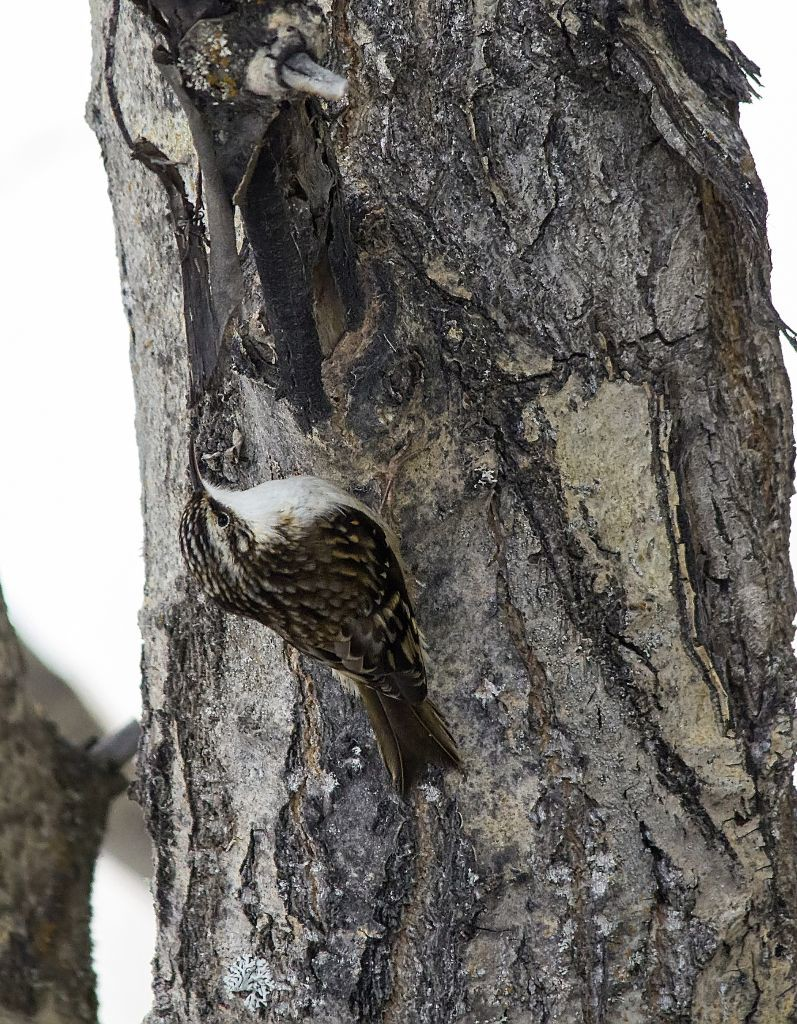 Brown Creeper Pentax K-5 + Sigma 150-500@500mm 1/640sec., ƒ/6.3, ISO 3200
