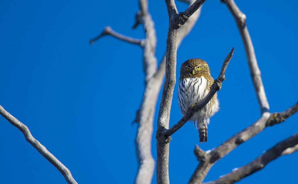 Northern Pygmy-owl #2 Pentax K-5 + Sigma 150-500@500mm 1/1250sec., ƒ/6.3, ISO 500