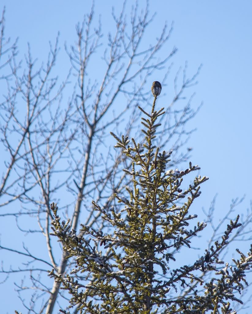 Northern Pygmy-owl #2 Pentax K-5 + Sigma 150-500@500mm 1/640sec., ƒ/6.3, ISO 200