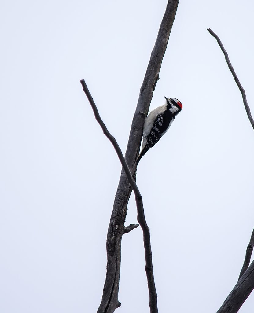 Downy Woodpecker Pentax K-5 + Sigma 150-500@500mm 1/500sec., ƒ/6.3, ISO 500
