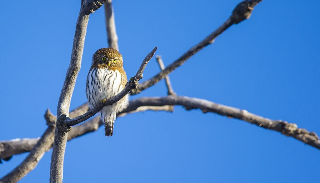 Northern Pygmy-owl #2 Pentax K-5 + Sigma 150-500@500mm 1/1250sec., ƒ/6.3, ISO 1000