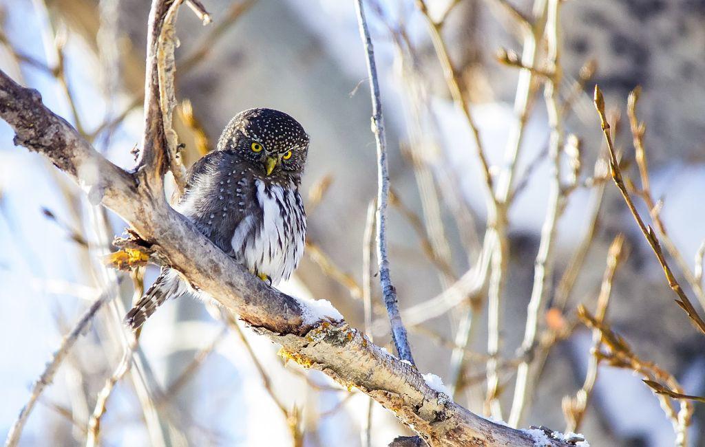 Northern Pygmy-owl Pentax K-5 + Sigma 150-500@500mm 1/1250sec., ƒ/6.3, ISO 2500