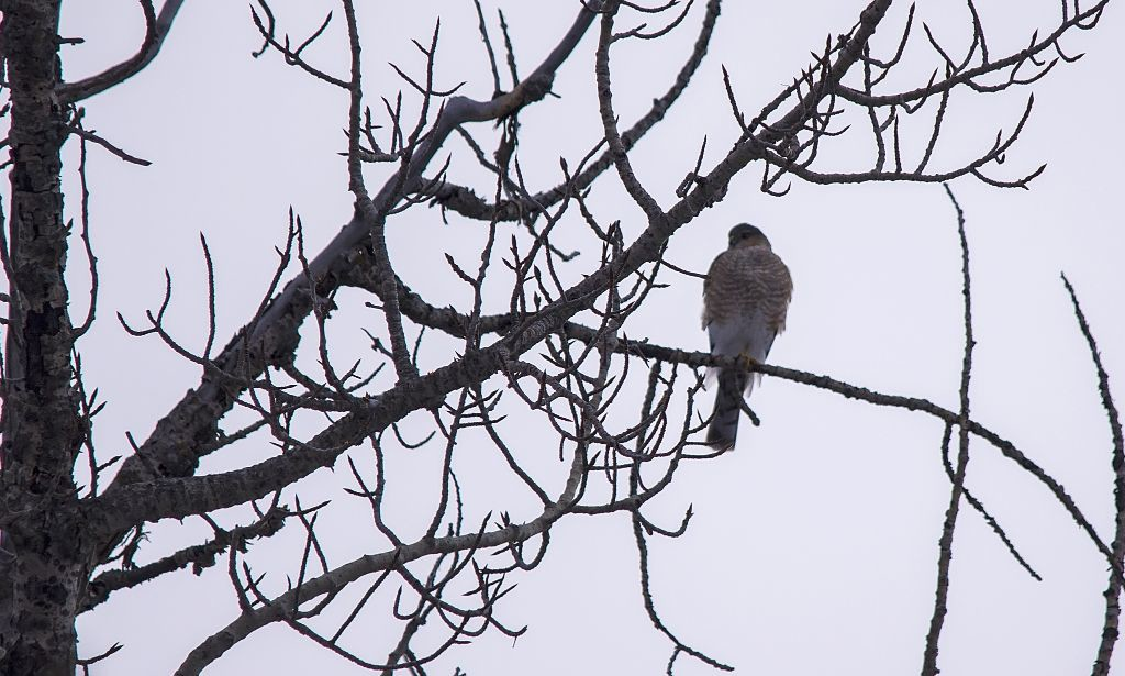Sharp-shinned Hawk Pentax K-5 + Sigma 150-500@500mm 1/1000sec., ƒ/6.3, ISO 1250