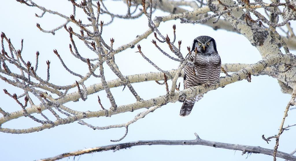 Hawk Owl Dan Arndt