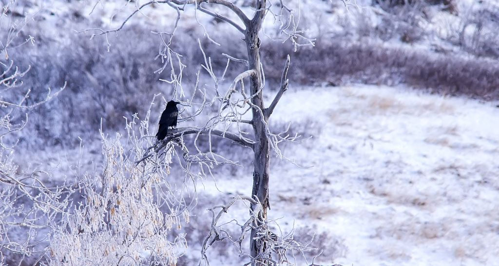 Common Raven in hoarfrost Pentax K-5 + Sigma 150-500@500mm 1/800sec., ƒ/8.0, ISO 640