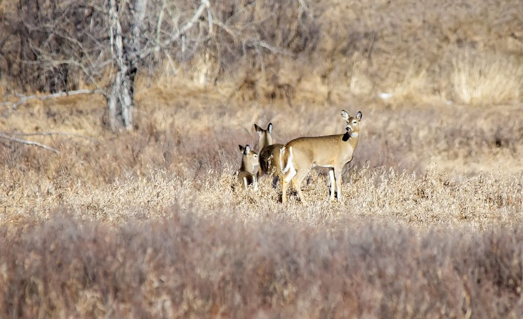 White-tailed Deer Pentax K-5 + Sigma 150-500@500mm 1/1250sec., ƒ/8.0, ISO 1250