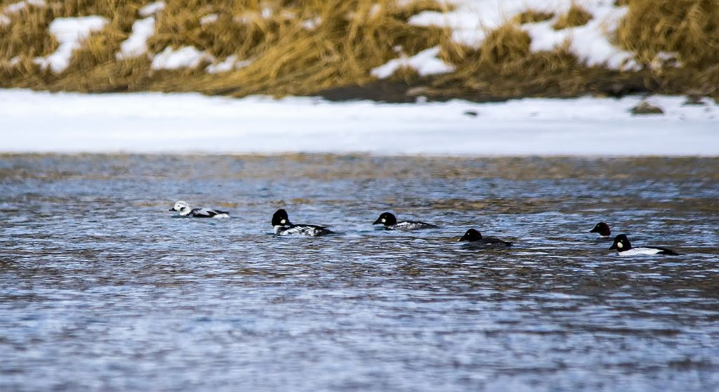 first year male Long-tailed Duck and Common Goldeneye Pentax K-5 + Sigma 150-500@500mm 1/640sec., ƒ/6.3, ISO 320