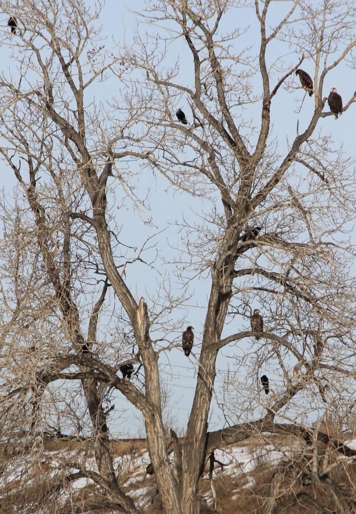 Eagles- Beaver Dam Flats-Jan 21,2015 029
