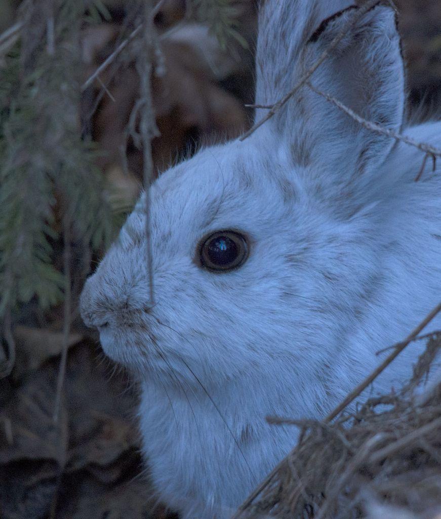 Snowshoe Hare Pentax K-5 + Sigma 150-500@500mm 1/320sec., ƒ/6.3, ISO 1600