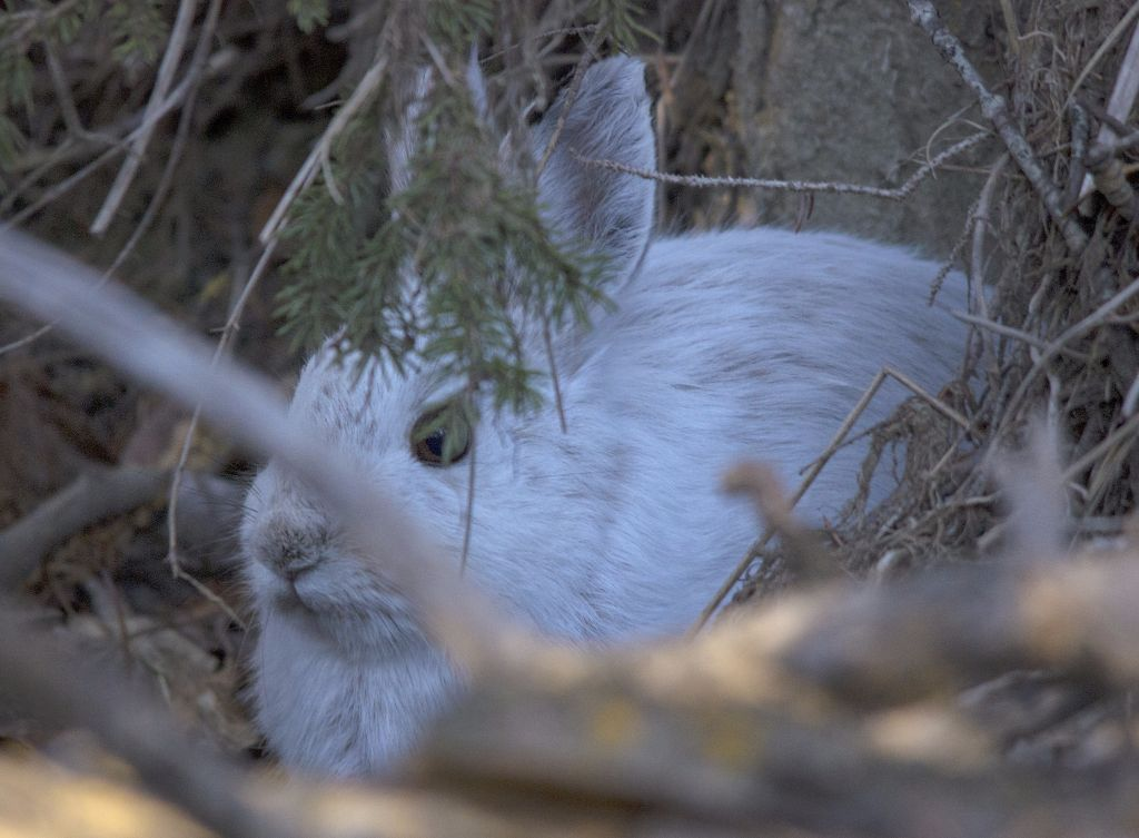 Snowshoe Hare Pentax K-5 + Sigma 150-500@500mm 1/200sec., ƒ/6.3, ISO 1600
