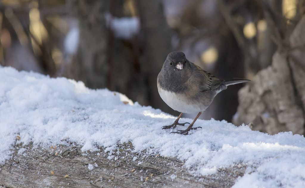 Dark-eyed Junco (Oregon color phase?) Pentax K-5 + Sigma 150-500@500mm 1/640sec., ƒ/6.3, ISO 1600