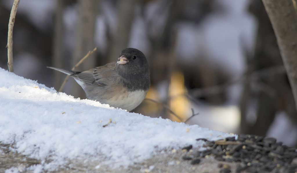Dark-eyed Junco (Oregon color phase) Pentax K-5 + Sigma 150-500@500mm 1/640sec., ƒ/6.3, ISO 1600