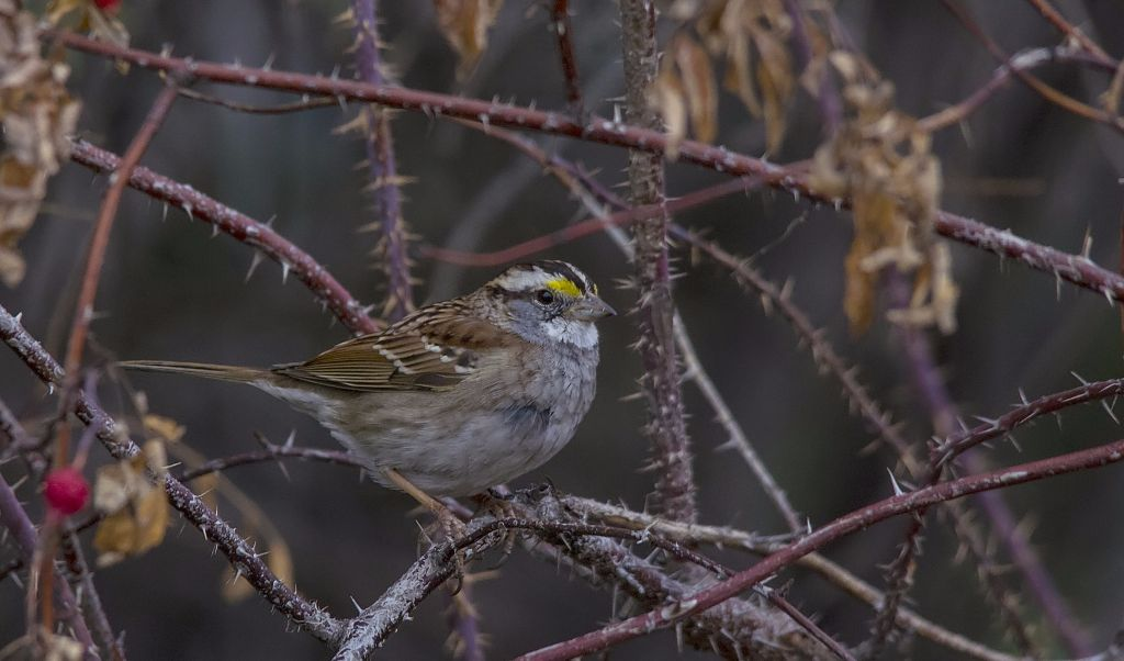 White-throated Sparrow Pentax K-5 + Sigma 150-500@150mm 1/500sec., ƒ/8.0, ISO 1600