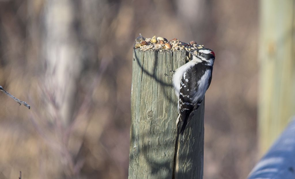male Downy Woodpecker Pentax K-5 + Sigma 150-500@500mm 1/800sec., ƒ/6.3, ISO 320